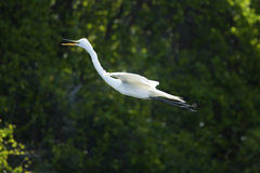 Egret flying past dark foliage in a Florida swamp. Royalty Free Stock Photos