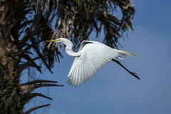 Egret flying past a palm tree in a Florida wetlands. Royalty Free Stock Photo