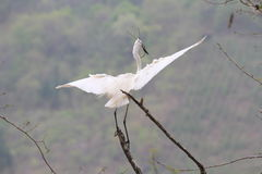 An egret flying in the sky Royalty Free Stock Image