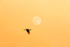 Egret  flying on sunset with full  moon Royalty Free Stock Photos