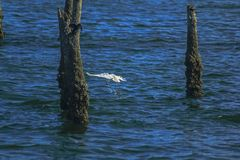 Egret catching a fish in the sea royalty free stock image