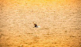 Egret flying on On the swamp warm filter style Royalty Free Stock Image