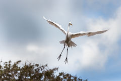 Egret flying towards a tree to land Royalty Free Stock Images