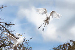 Egret flying towards a tree to land Stock Photo