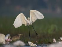 Egret flying in water lily pond. White Egret in water lily pond stock image