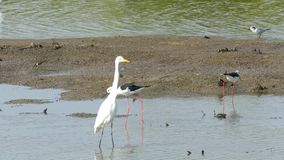 Egret foraging 3 stock footage