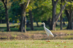 Egret foraging walk. Royalty Free Stock Photography