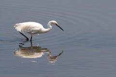 Egret, (garzetta del egretta) Fotos de archivo libres de regalías