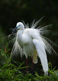 The Egret is gazing.  Stock Photo