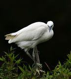 The Egret is gazing Stock Photo
