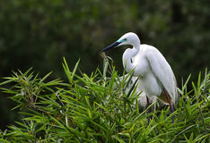 Egret. The egret is gazing Royalty Free Stock Photo