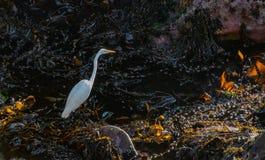 Egret gigante cercado pela alga foto de stock royalty free