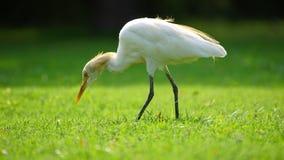 Egret gmeranie dla jedzenia w parku zdjęcia stock