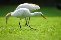 Egret gmeranie dla jedzenia w parku obrazy stock