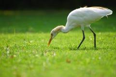 Egret gmeranie dla jedzenia w parku zdjęcie stock