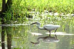 Egret grande Fotografia Stock