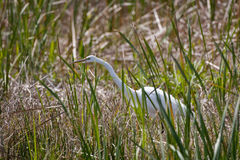 Egret in the grass Stock Photography