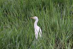 Egret among grass Stock Photography
