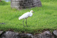 The egret Stock Photo