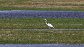 Egret in the grasslands Royalty Free Stock Image