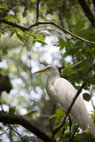 Egret. Greater egret in a tree royalty free stock photo