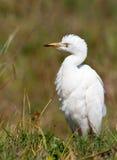 egret gruntuje jego bufiastą pozycję Fotografia Royalty Free