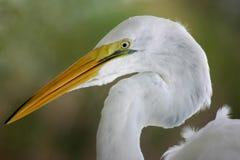 Egret Head Shot.  Stock Photo