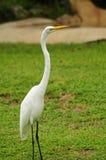 Egret hermoso Foto de archivo libre de regalías
