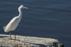 Egret heron by the Salton sea Stock Photo