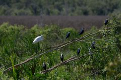 Egret and Herons Resting. A Great Egret ardea modesta and Pied Herons egretta picata resting on a fallen tree in wetlands at Fogg Dam, Darwin, Northern Territory stock images