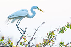 Egret at High Island, TX. Egret minding their nest during Spring Migration at High Island, TX Royalty Free Stock Image