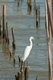 Egret hold on bamboo Royalty Free Stock Images