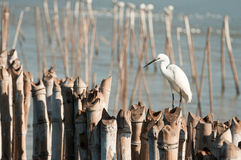 Egret hold on bamboo Royalty Free Stock Photos
