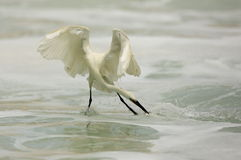 Egret hunting Stock Image