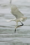 Egret hunting Stock Photo