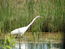 Egret Hunting on Chincoteague Island Stock Image