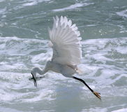 Egret hunting fish Royalty Free Stock Photo