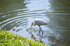 Egret Hunting for Fish Royalty Free Stock Photography