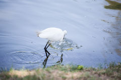Egret Hunting for Fish Royalty Free Stock Images