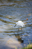 Egret Hunting for Fish Stock Images