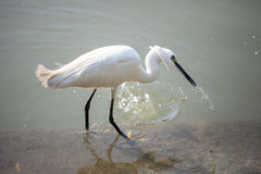 Egret Hunting for Fish Stock Image