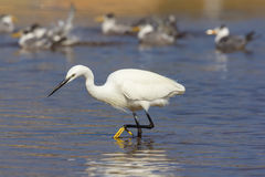 Egret hunting Stock Photos