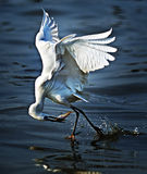 Egret is hunting2 Stock Photos