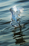 Egret is hunting. Shenzhen Bay Mangrove Egret is hunting royalty free stock photography