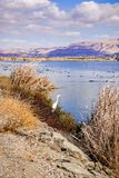 Egret hunting in south San Francisco bay, Sunnyvale, California stock photography