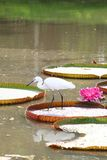 Egret is hunting on the Victoria waterlily leaf Royalty Free Stock Photos