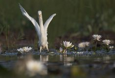 Egret in water lily pond. Egret hunting in water lily pond stock photo