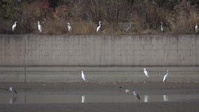 Egret i czapla zdjęcie wideo