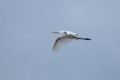 Egret i flyg arkivfoto