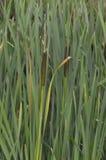 Egret i odbicie w zalewisku Obraz Royalty Free